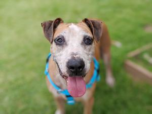 Baylord, age 8, is ready and waiting to be adopted at the Maui Humane Society.